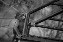 Young vervet monkey on the back of pick-up truck – Zimbabwe